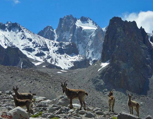 Mountain Goats with peak Corona (Ala Archa)