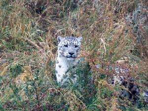 "Rare Snow leopard, ""Bars"""