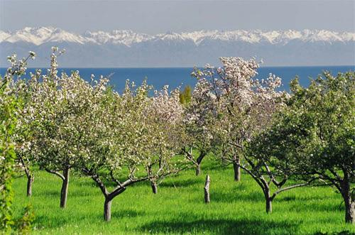 Apricot orchard at Lake Issyk Kul